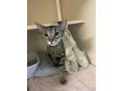 Adopt Dobby a Brown or Chocolate Oriental / Domestic Shorthair / Mixed cat in