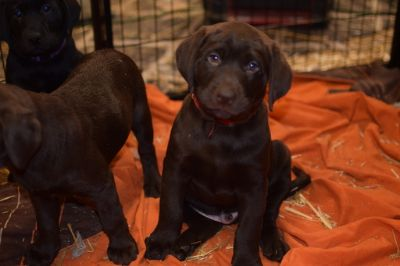 Labrador Retriever PUPPY FOR SALE ADN-114115 - Labrador retrievers