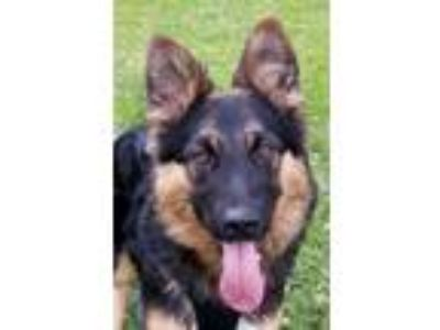 Adopt Horchata a German Shepherd Dog