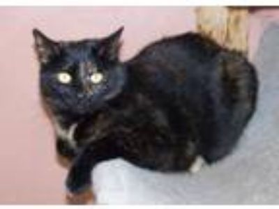 Adopt Ellen a Tortoiseshell, Domestic Short Hair