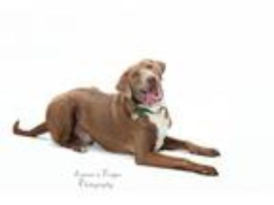 Adopt Nezumi a Gray/Silver/Salt & Pepper - with White Labrador Retriever / Hound