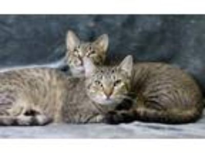 Adopt Mildred (Sicklerville Petsmart) a Domestic Short Hair, Tabby