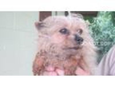 Adopt Sophie a Yorkshire Terrier
