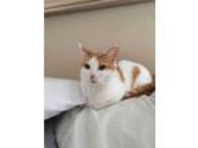 Adopt Trixie a Spotted Tabby/Leopard Spotted Domestic Shorthair / Mixed cat in