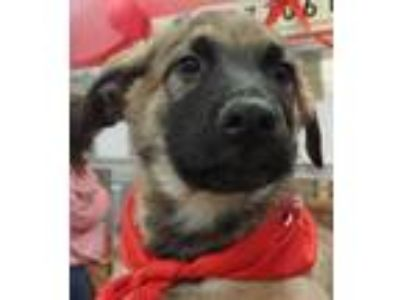 Adopt Orec a Tricolor (Tan/Brown & Black & White) German Shepherd Dog /