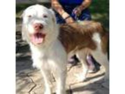 Adopt Whitey a White German Wirehaired Pointer / Labrador Retriever / Mixed dog