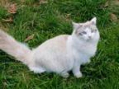 Adopt Cotton a White Domestic Shorthair / Domestic Shorthair / Mixed cat in