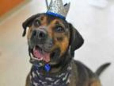 Adopt Diesel a Brindle Mixed Breed (Large) / Mixed dog in Land O'Lakes