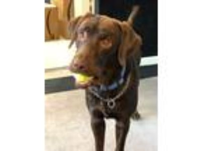 Adopt Louis a Chocolate Labrador Retriever