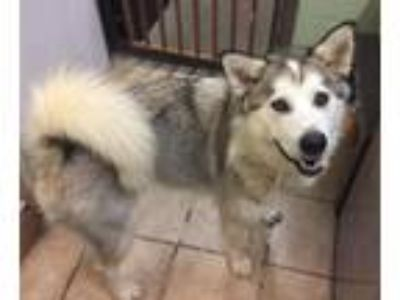 Adopt Francesca available 5/10/19 a White Alaskan Malamute / Mixed dog in