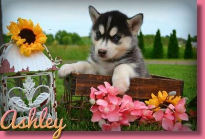 Ashley Female ACA Siberian Husky