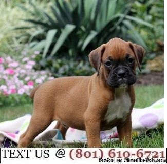 Respectful Boxer Puppies Available