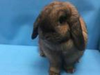 Adopt Pumpkin a Chocolate Lop, Holland / Mixed rabbit in Coon Rapids