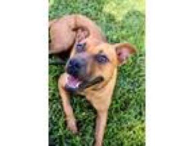 Adopt Stevie - READY NOW a Labrador Retriever, Pit Bull Terrier