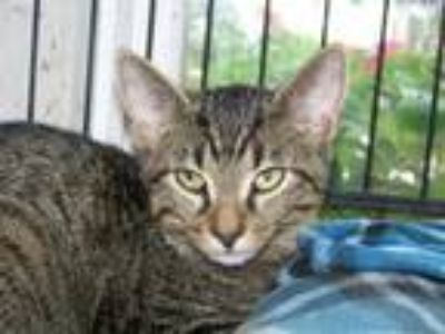 Adopt Pippin a Gray or Blue Domestic Shorthair / Domestic Shorthair / Mixed cat