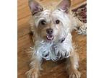 Adopt Pippin a White Terrier (Unknown Type, Small) / Mixed dog in Oakland