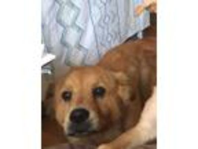 Adopt Layla a Red/Golden/Orange/Chestnut - with Black Golden Retriever / Chow