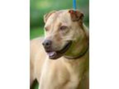 Adopt Kiva/Daffodil a Tan/Yellow/Fawn Shar Pei / Labrador Retriever / Mixed dog