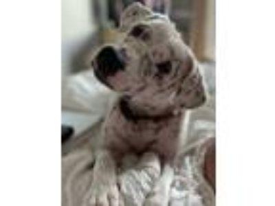 Adopt JAZZ- NEEDS A FOSTER/FOREVER HOME!!! a Labrador Retriever