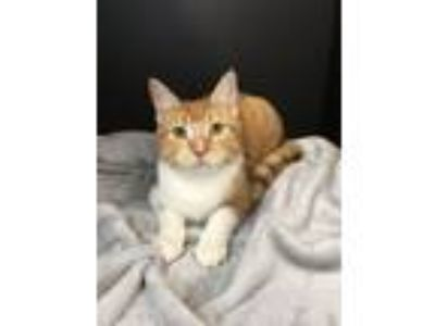 Adopt Kiara SEE HER VIDEO WATCH HOW PLAYFUL! a Domestic Short Hair