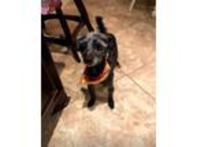 Adopt Squirt a Black - with White Schnauzer (Miniature) / Poodle (Miniature) /