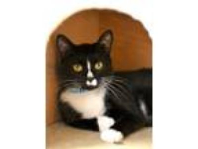 Adopt Link a Domestic Short Hair