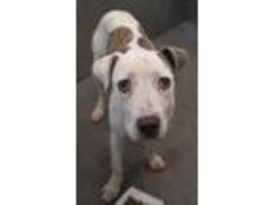 Adopt Meg a White - with Brown or Chocolate Cattle Dog / Boxer / Mixed dog in