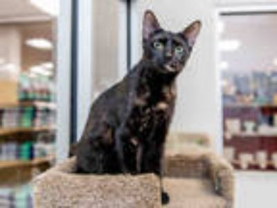 Adopt PUFF a Tortoiseshell Domestic Shorthair / Mixed (short coat) cat in Doral