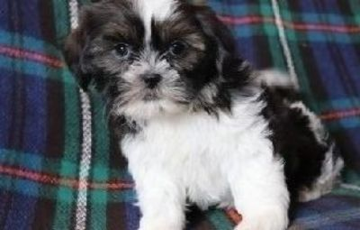 FDHDRTHT Shih tzu puppies ready for a lovely home