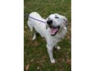Adopt Ladybelle a White - with Black Great Pyrenees / Anatolian Shepherd / Mixed