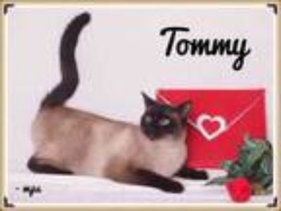 Adopt Tommy a Cream or Ivory Siamese / Domestic Shorthair / Mixed (short coat)