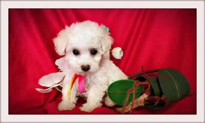 Black and White Maltese Mixed with Poodle in San Jose