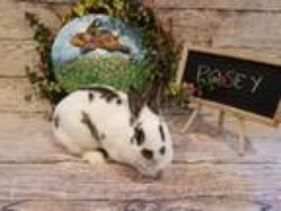 Adopt Posey a Multi Other/Unknown / Mixed (short coat) rabbit in Columbus