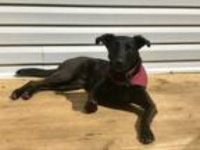 Adopt Cora a Black Hound (Unknown Type) / Labrador Retriever / Mixed dog in