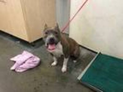Adopt *SUNFLOWER a Brindle - with White American Pit Bull Terrier / Mixed dog in