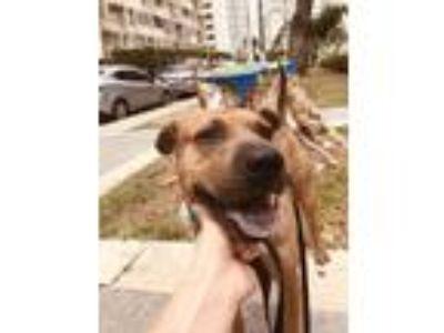Adopt Stell a Brown/Chocolate Shar Pei dog in Isabela, PR (25655036)