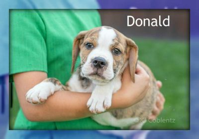 Donald: Male Beabull Puppy