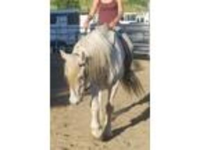 Grey riding Percheron for sale