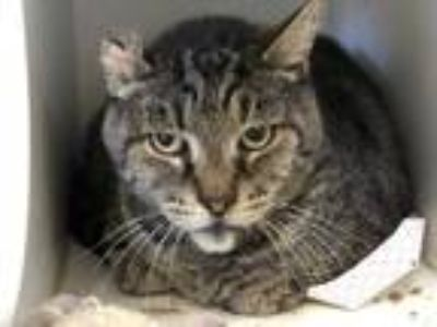 Adopt *MIKE a Brown Tabby Domestic Shorthair / Mixed (short coat) cat in