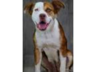 Adopt Joplin a Brown/Chocolate Collie / American Pit Bull Terrier / Mixed dog in