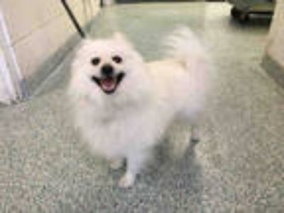 Adopt a White Pomeranian / Mixed dog in Long Beach, CA (25305359)