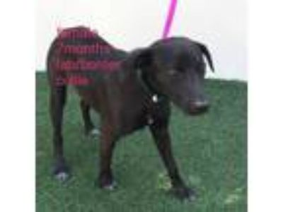 Adopt Henny a Labrador Retriever / Border Collie / Mixed dog in Lemoore