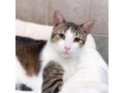 Adopt Rodeo a Domestic Short Hair