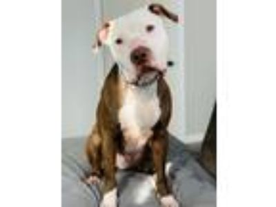 Adopt Andy a American Staffordshire Terrier