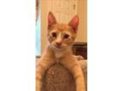 Adopt Ollie a Orange or Red Tabby Domestic Shorthair (short coat) cat in