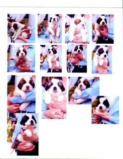 Saint Bernard PUPPY FOR SALE ADN-91637 - Saints St Louis