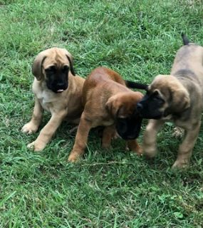 Mastiff PUPPY FOR SALE ADN-83536 - Mastiff pups in central Texas are ready