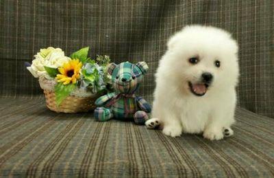Japanese Spitz PUPPY FOR SALE ADN-113317 - Spitz the SMARTEST small dog  LA SF SD SEA NY CHI