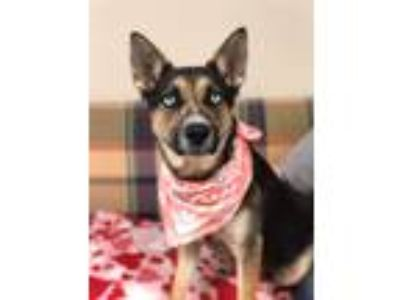 Adopt Sheila a German Shepherd Dog / Australian Cattle Dog / Mixed dog in