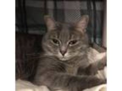 Adopt Nermal a Gray or Blue Domestic Shorthair / Domestic Shorthair / Mixed cat